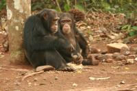 One adult male using stone tools to crack nuts, Susana Carvalho